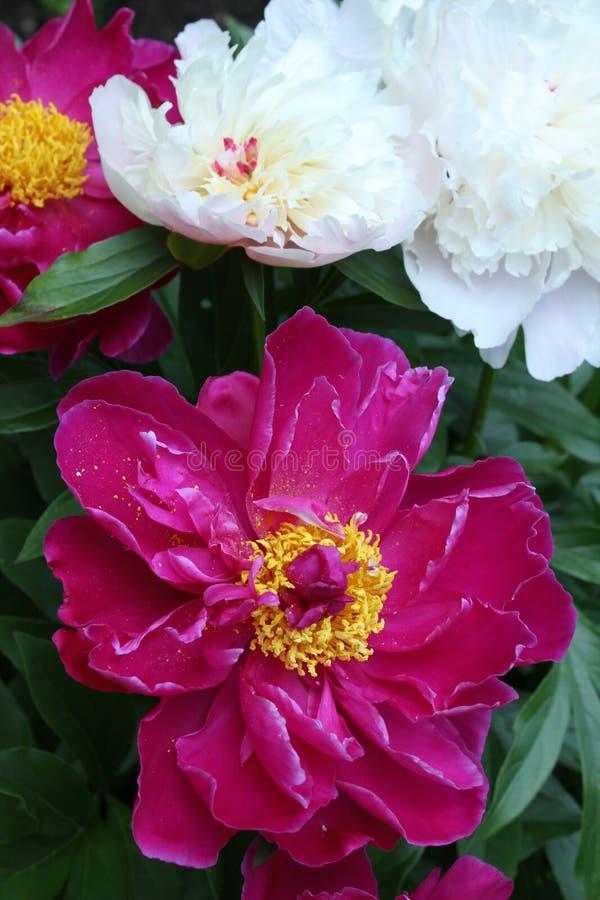 Розовая предпосылка пиона стоковое изображение rf