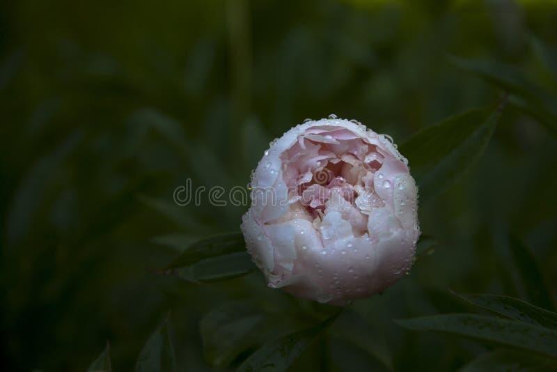 Розовая роса падения воды пиона стоковая фотография