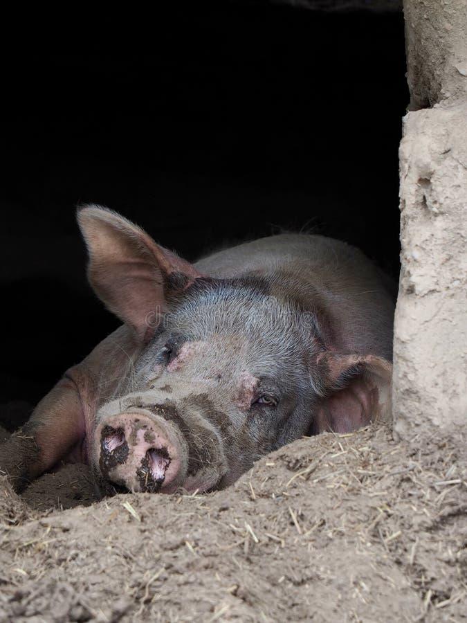 Розовая свинья с большими ушами и рыльцем в вертепе стоковые изображения rf