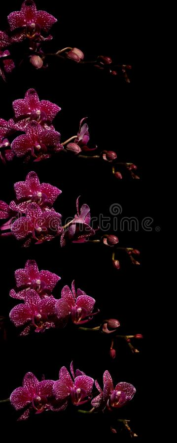 Розовая серия промежутка времени орхидеи сумеречницы стоковые фотографии rf