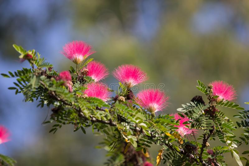 Розовая слойка порошка цветка или слойка порошка головы стоковые фотографии rf