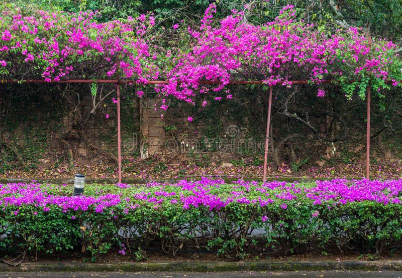 Розовая строка цветка бугинвилии стоковое фото rf