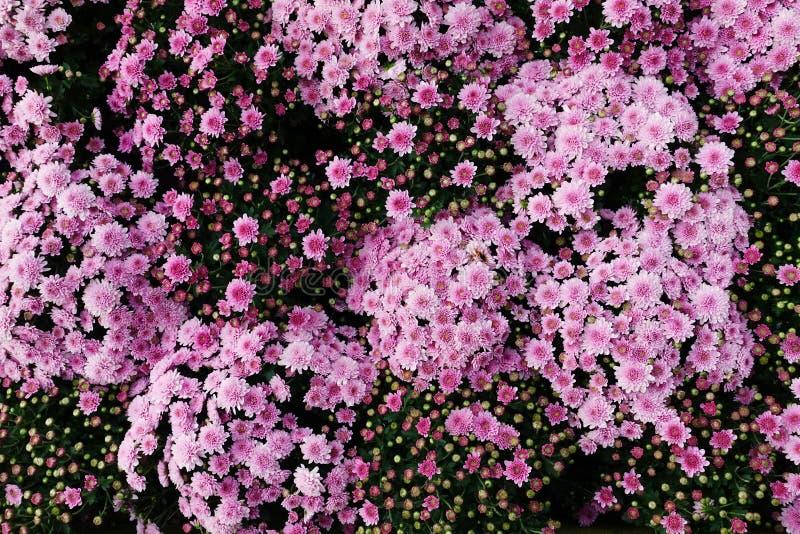 Розовая хризантема стоковые изображения