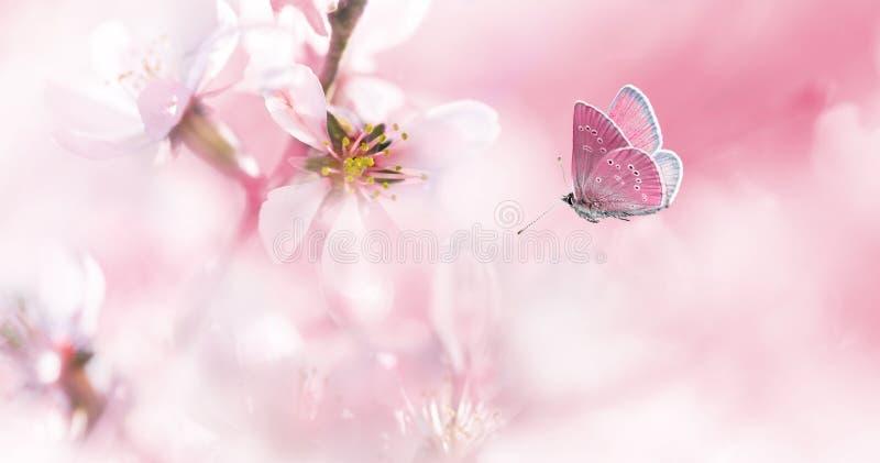 Розовая цвести миндалина и бабочка летая стоковая фотография rf
