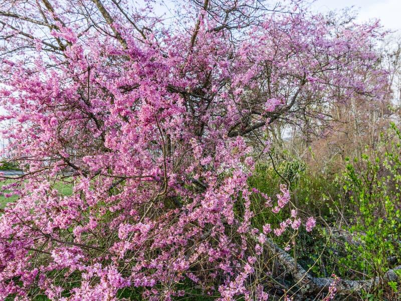 Розовое дерево весны цветет 7 стоковое изображение