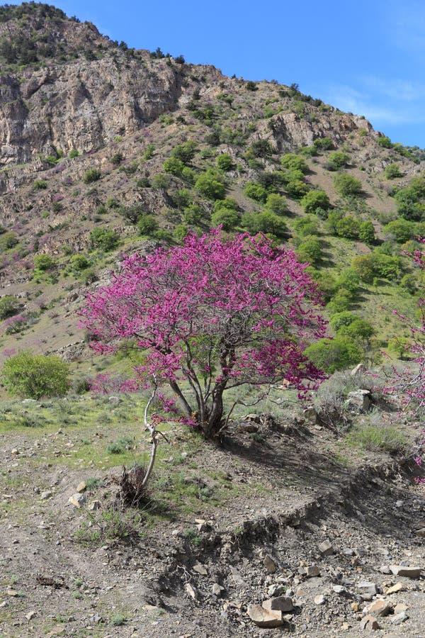 Розовое дерево в горах стоковые изображения