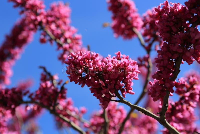 Розовое дерево в горах стоковое изображение rf