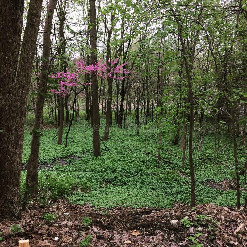 Розовое дерево в лесе стоковые изображения rf