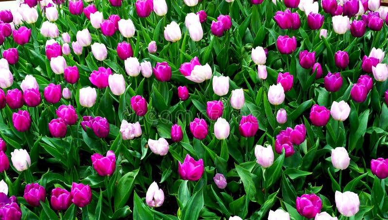 Розовое и фиолетовое поле цветков тюльпана стоковые фото