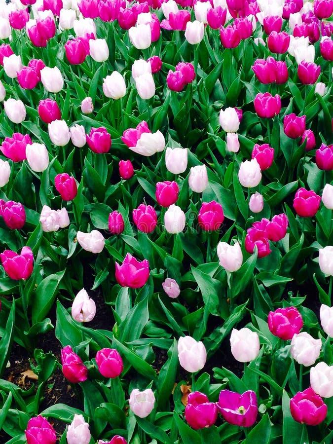 Розовое и фиолетовое поле цветков тюльпана стоковое изображение
