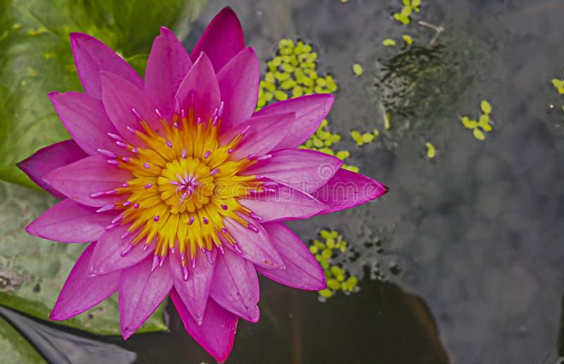 Розовое Лотос-розовое полное цветение лилии воды стоковые изображения rf