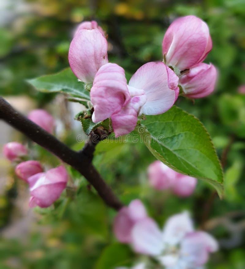 розовое начало цветения весной стоковые фотографии rf