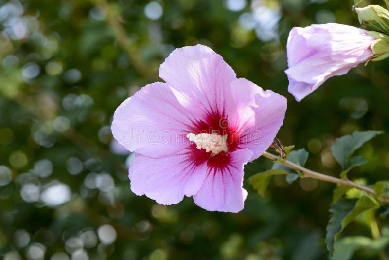Розовое Роза Шерона стоковые изображения rf