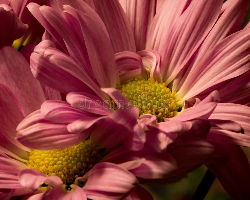 Розовое столкновение стоковая фотография