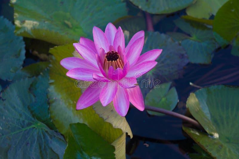 Розовое уединение лилии воды в тропиках стоковые изображения rf