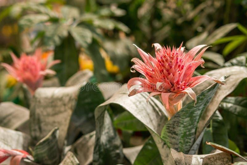 Розовое цветене fasciata Aechmea тропического завода окруженное растительностью в саде стоковое фото