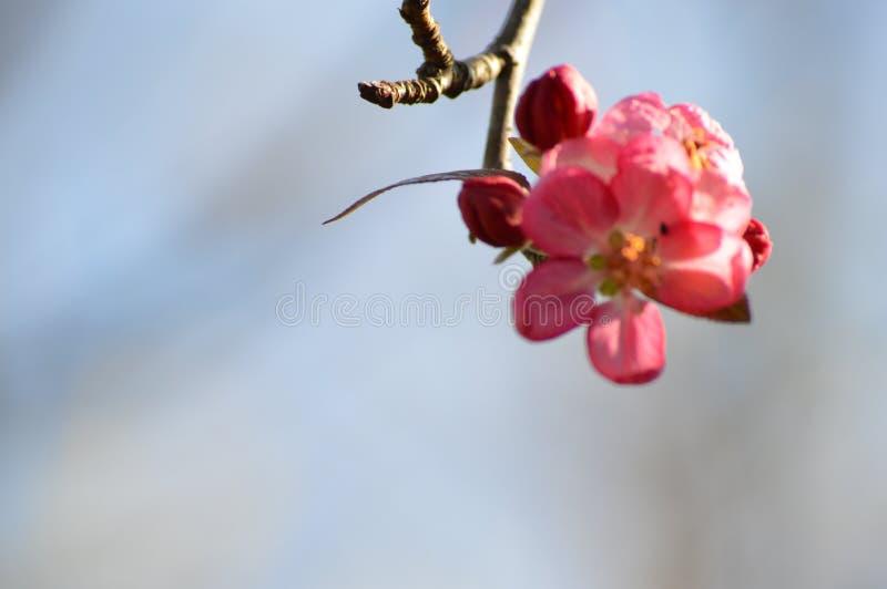 Розовое цветение дерева стоковое фото rf