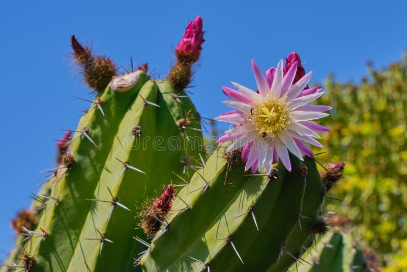 Розовое цветение кактуса против голубого неба стоковое фото