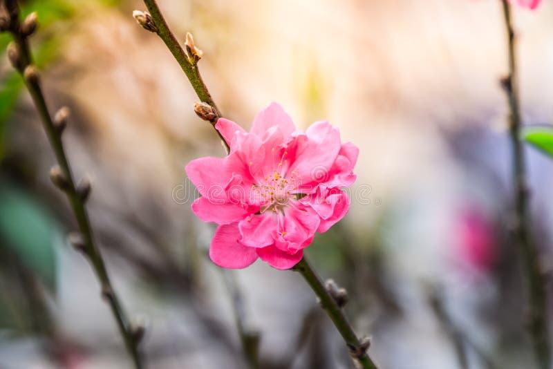 Розовое цветение персика - закройте вверх розового цветка на ветвях на запачканной предпосылке природы стоковое фото rf