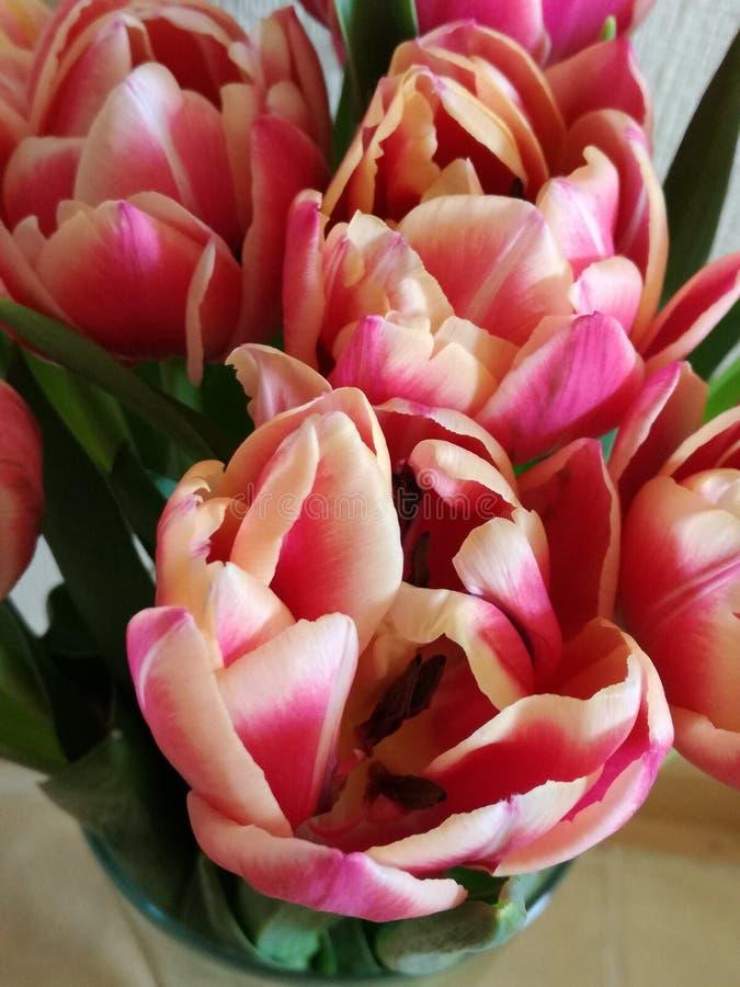 Розовое цветение цветка тюльпана стоковая фотография