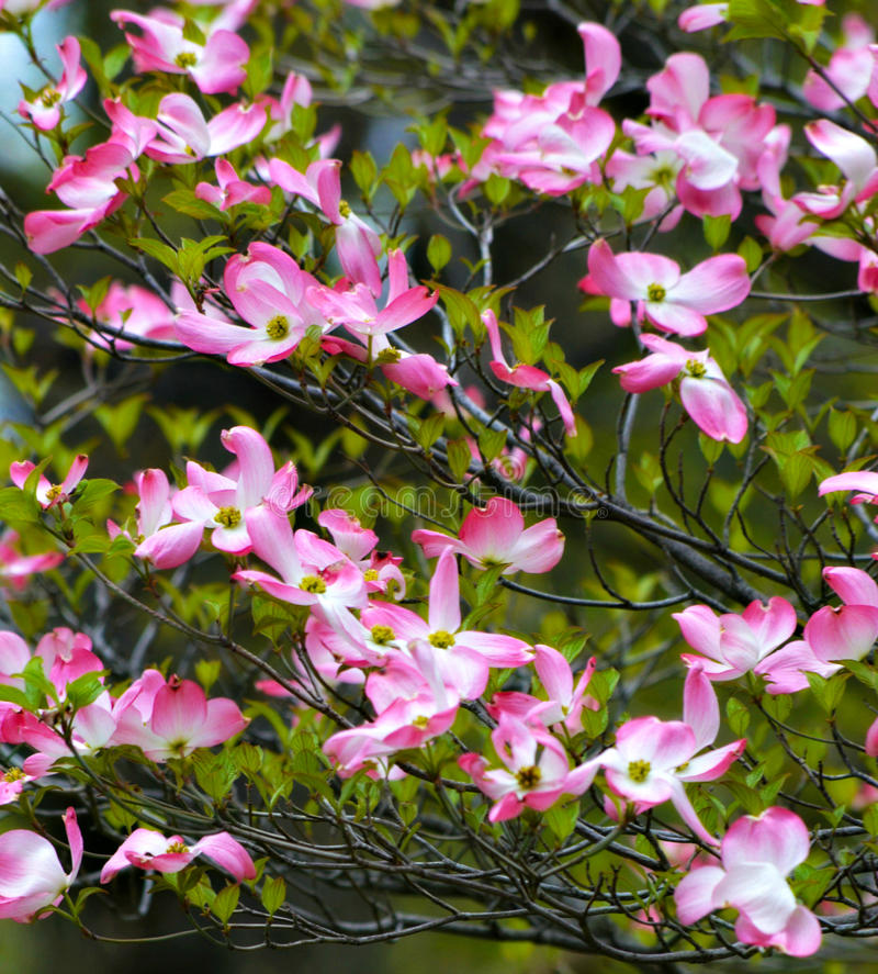 Розовое цветя дерево кизила во время весны стоковое фото rf