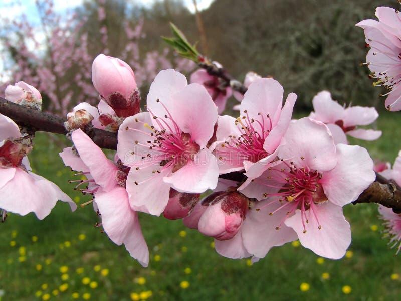 Розовое цветя персиковое дерево в весеннем времени стоковые фотографии rf
