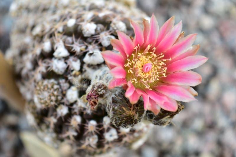 Розовое шикарное цветение кактуса стоковые изображения