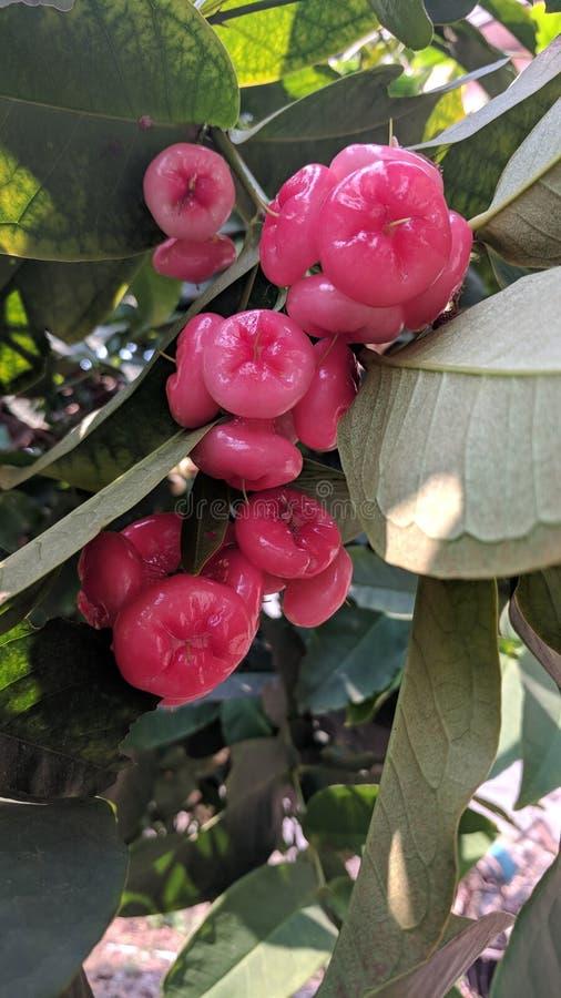 Розовое Яблоко стоковое изображение rf