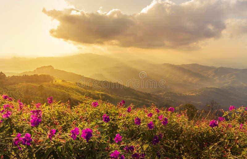 Розовое balsamina impatiens цветет на mup Chiangrai chang doi, Таиланде на времени захода солнца стоковые фотографии rf