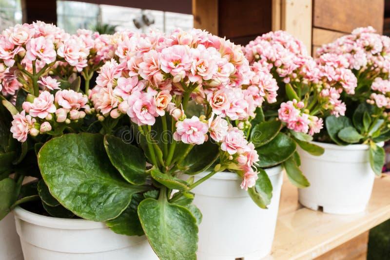 Розовое blossfeldiana Kalanchoe в цветочном горшке стоковая фотография rf