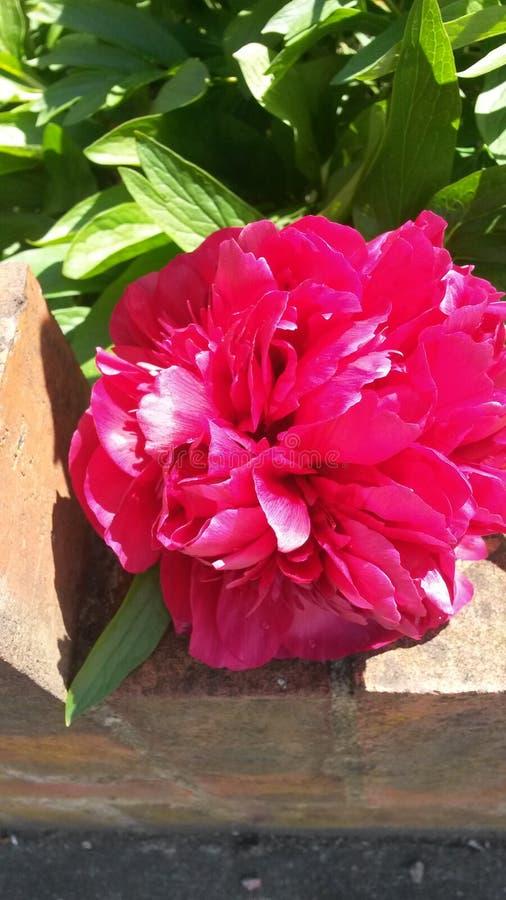 Розовое peonia стоковая фотография rf