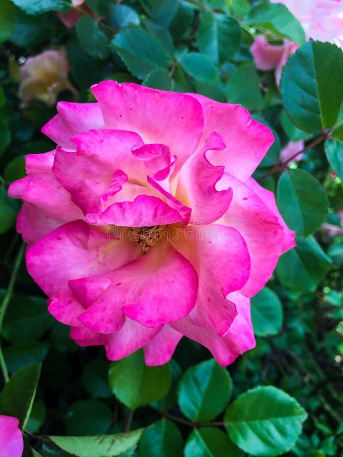Розовое peonie стоковая фотография rf