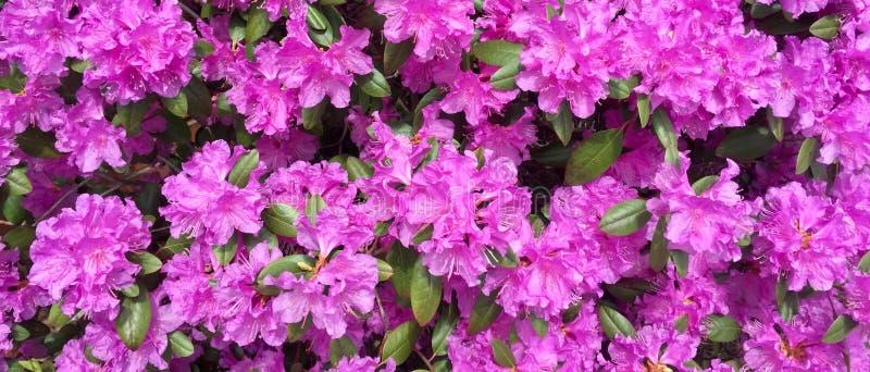 Розовые азалии зацветая весной стоковая фотография rf