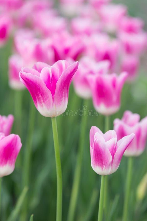 Розовые белые цветки Стамбул тюльпанов стоковое изображение rf