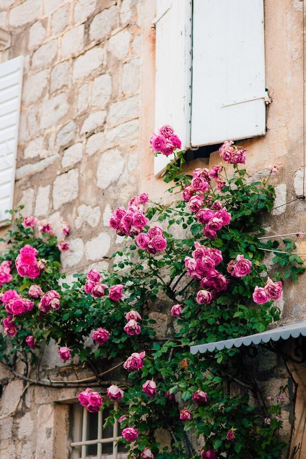 Розовые взбираясь розы на стене в старом городке стоковые изображения rf