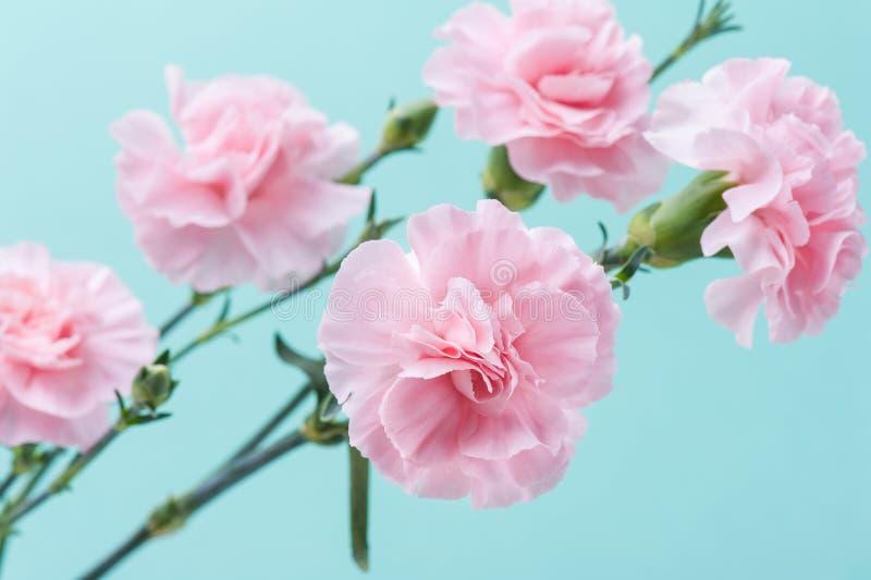 Розовые гвоздики на предпосылке мяты зеленой стоковое изображение