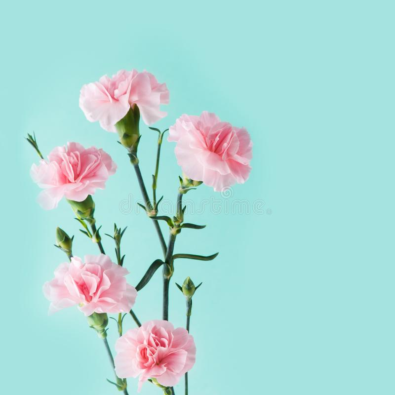 Розовые гвоздики на предпосылке мяты зеленой стоковые фотографии rf
