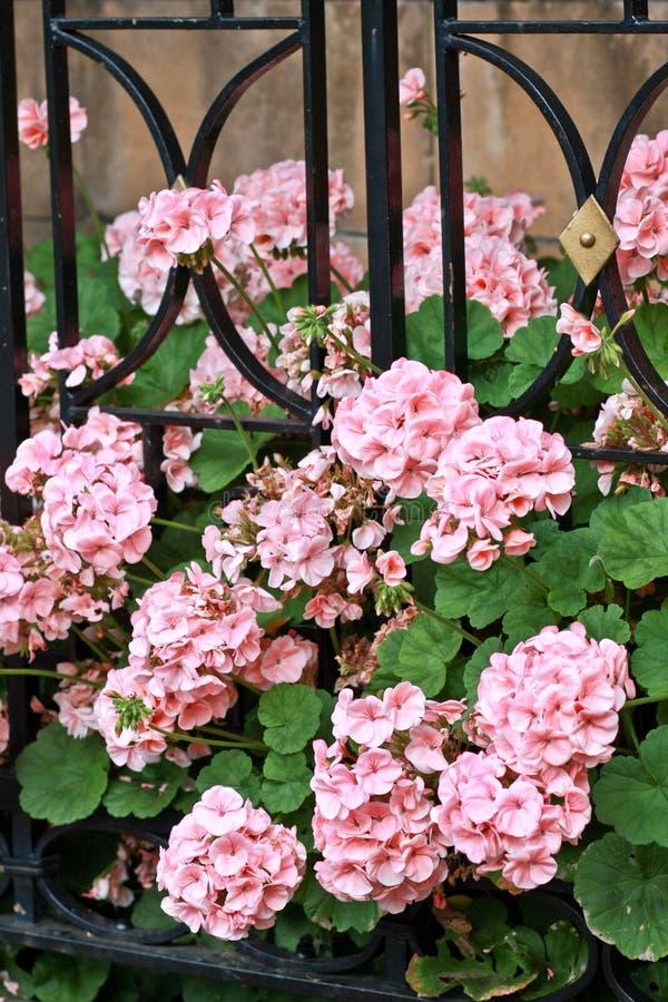 Розовые гераниумы рядом с железной загородкой стоковые фотографии rf