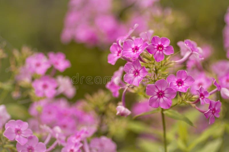 Розовые гераниумы стоковые изображения