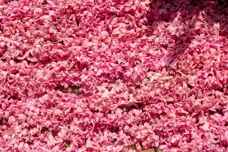 Розовые гиацинты как естественная покрашенная предпосылка стоковое изображение rf