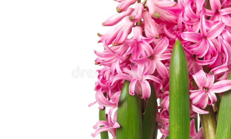 Розовые гиацинты Цветки весны изолированные на белой предпосылке стоковое изображение rf