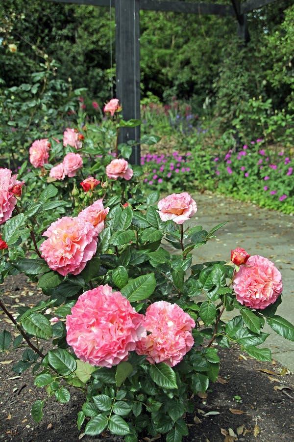 Розовые гибридные розы чая стоковое изображение rf