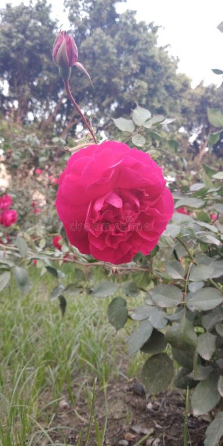 розовые изображения от Индии стоковое изображение rf