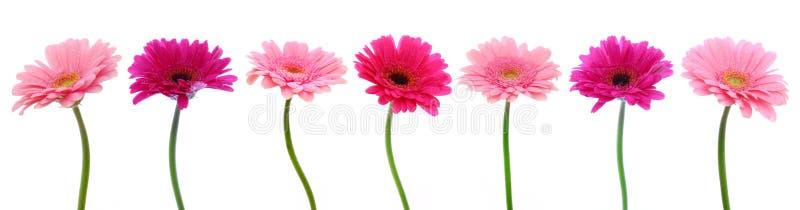 Розовые изолированные цветки gerber стоковые изображения rf