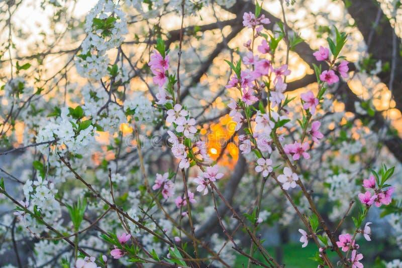Розовые и белые цветки на заходе солнца стоковые изображения rf