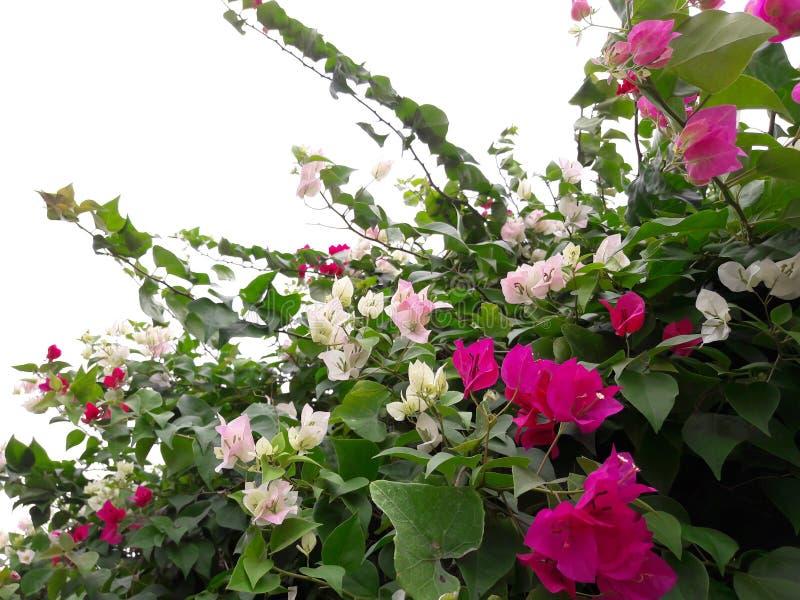 Розовые и белые цветки бугинвилии красивы стоковая фотография