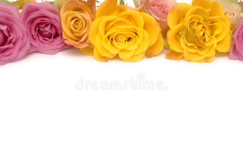 Розовые и желтые розы стоковые фотографии rf