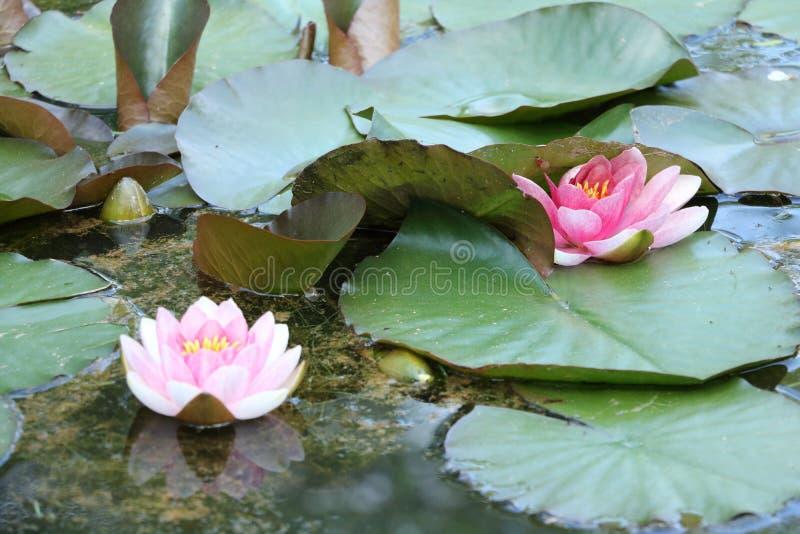 Розовые лилии воды естественные стоковая фотография