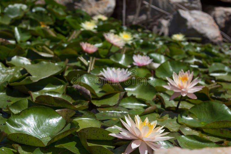 Розовые лилии и множество зеленых листьев стоковое изображение rf