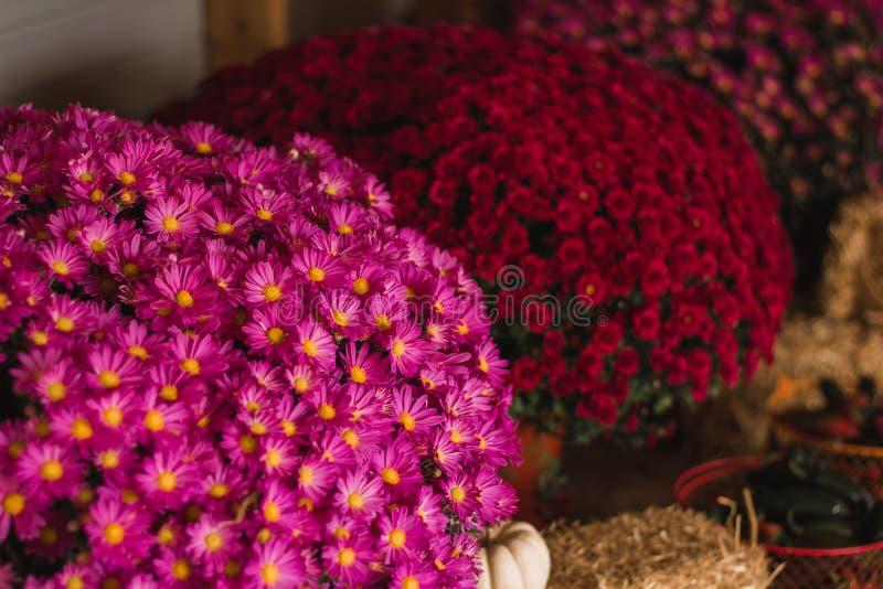 Розовые и красные мамы стоковое изображение